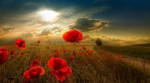 beautiful-poppy-field-sunlight-facebook-timeline-cover-photo1366x76866504