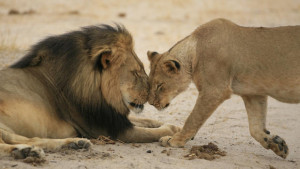 cecil-and-lioness